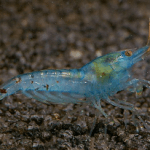 Blue Pearl Shrimp