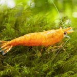 Orange Bee Shrimp