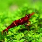 Red Goldflake Shrimp