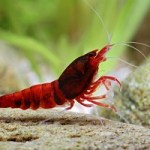 Wine Red Shrimp