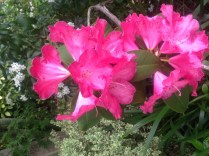 Easter rhododendron