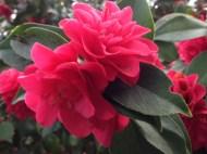 Valentine camellias