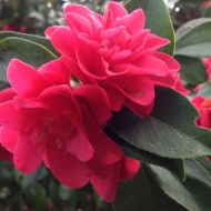 Valentine camellias