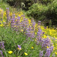 Lupine and poppies Calistoga