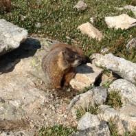 Marmot, Table Top Mountain