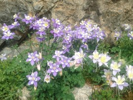 Columbine en route to Chasm Lake