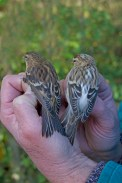 Juvenile 'Coue's' Arctic Redpoll and Lesser Redpoll  09/11/2013