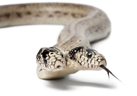 two-headed-snake