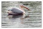Pelican - 10