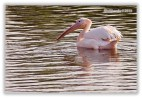 Pelican - 11