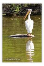 Pelican - 7