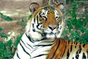 Royal Bengal Tiger...Banerghatta National Park, Bangalore