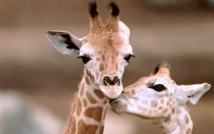 giraffe_couple