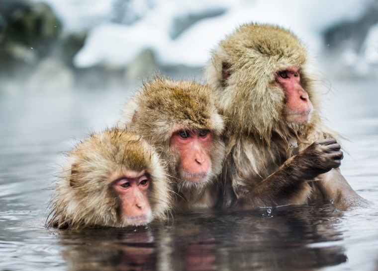 monkeys-in-hot-spring