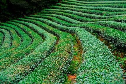Tea Field 4