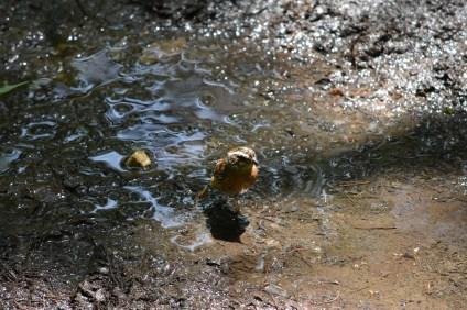 水浴びするホオジロ