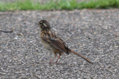 ヒバリ幼鳥