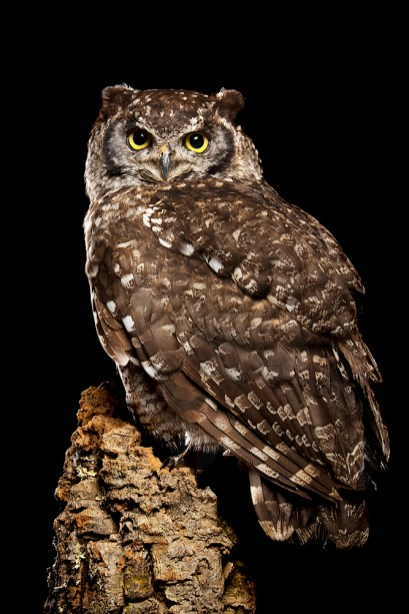African Spotted Eagle Owl_2128