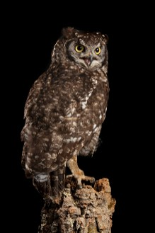 African Spotted Eagle Owl_7650 (1)