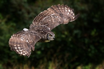 African Spotted eagle Owl-4397