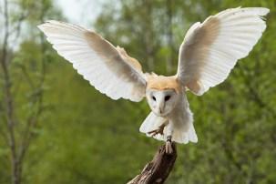 Barn OwlB-5411