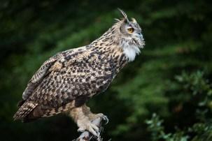 Eu Eagle owl-4460