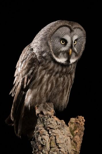 Great Grey Owl-2271
