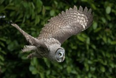 Great Grey Owl-2928b