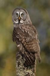 Great Grey Owl_0275