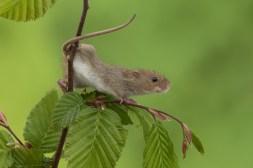 Harvest Mouse-3056