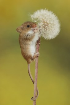 Harvest Mouse-3067