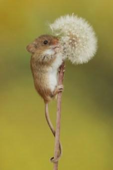 Harvest Mouse-3067