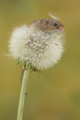 Harvest Mouse-7426
