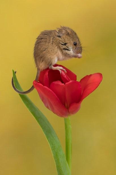 Harvest Mouse_0787b
