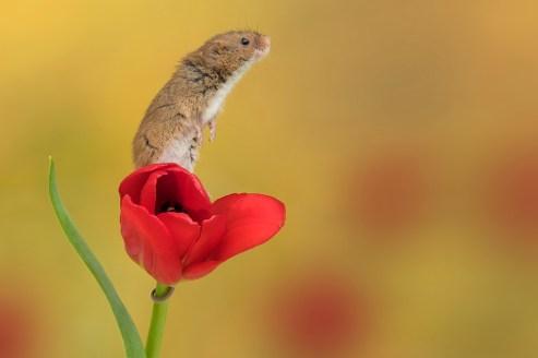 Harvest Mouse_0839