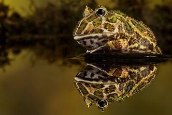 Horned frog-3993