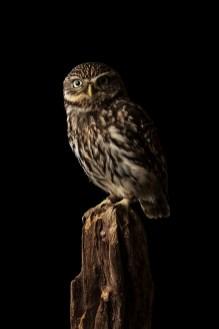 Little Owl-3383