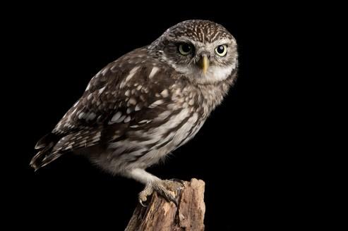 Little Owl-7129