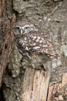 Little Owl-7217