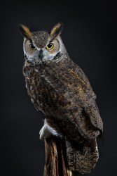 Northern Great Horned Owl-0719