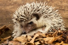 Pygmy Hedgehog_3433