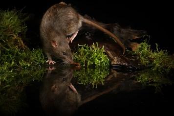 Rat_0582