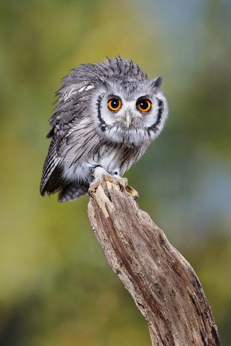 Southern White Faced Owl-9918