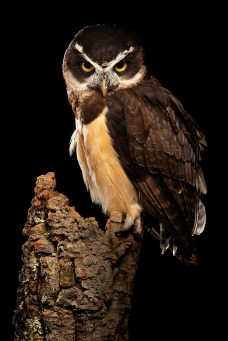 Spectacled Owl-2136