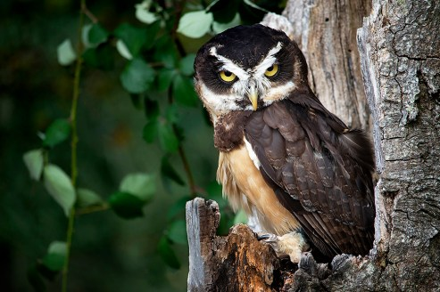 Spectacled Owl_0673