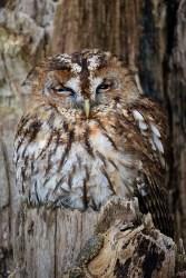 Tawny Owl-0015