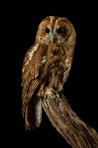 Tawny Owl_0002