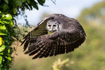 Verreaux Eagle Owl_7645b