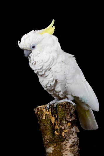 IMG_Cockatoo