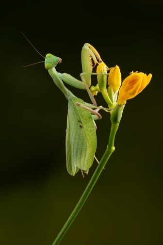 Giant African Mantis-04622